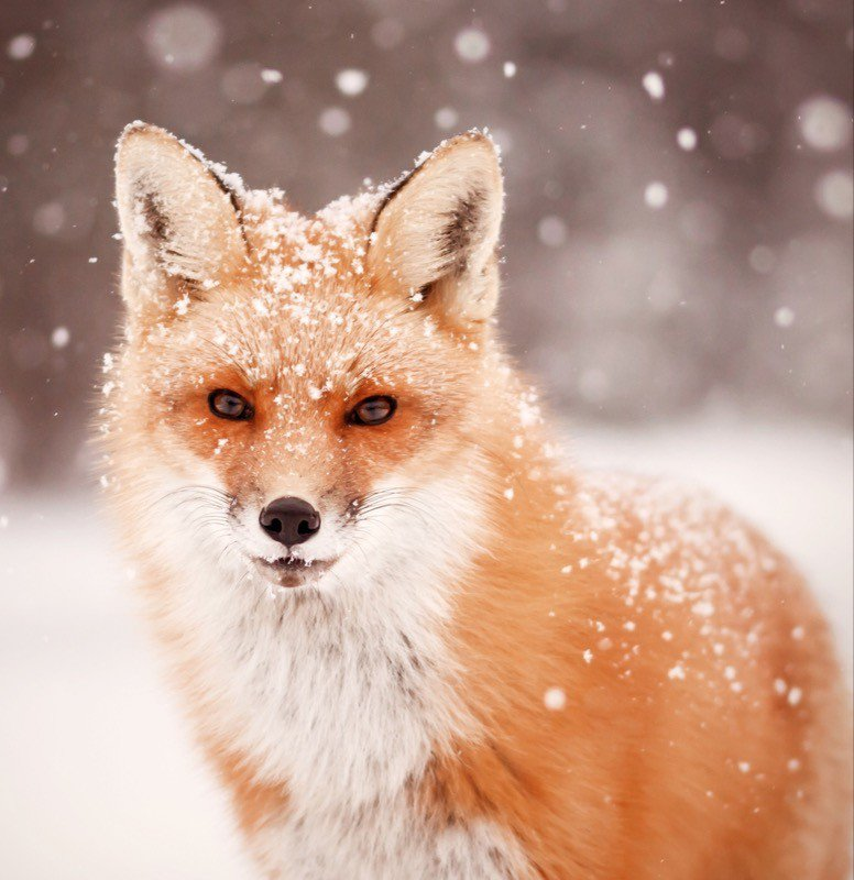 Beautiful fox in the snow. He looked directly in my camera, posing for me.