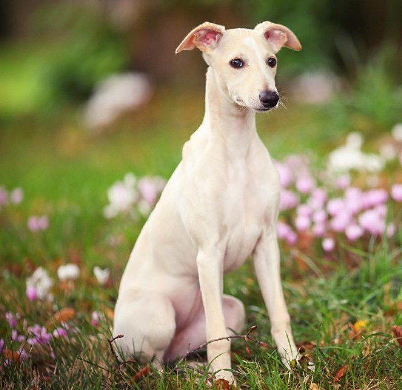 Whippets have similar statures to Greyhounds and will also need a coat.