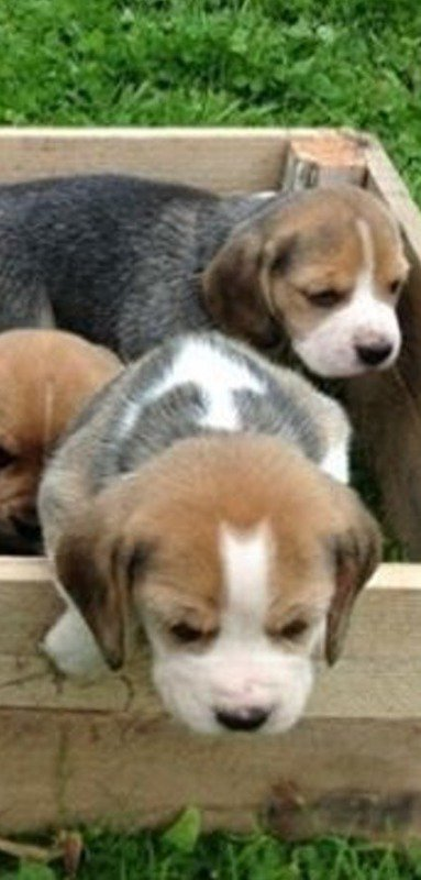 I love beagles!