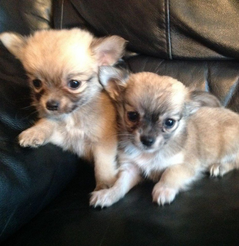 The brother and sister chihuahuas