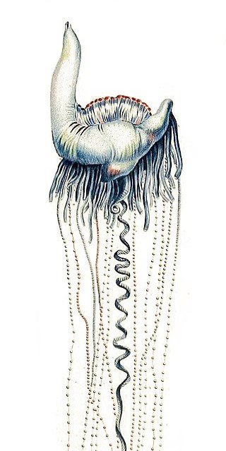 The Portuguese man o' war is a siphonophore that aimlessly floats around.