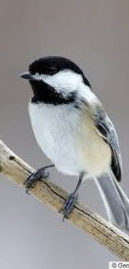 A little Chickadee would be fun to see!