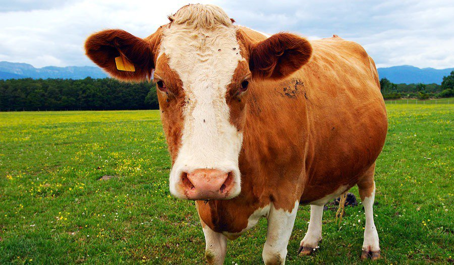 Brown and white bovine (cow)