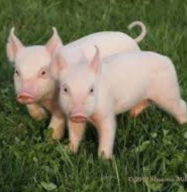 Little, itty bitty piglets!