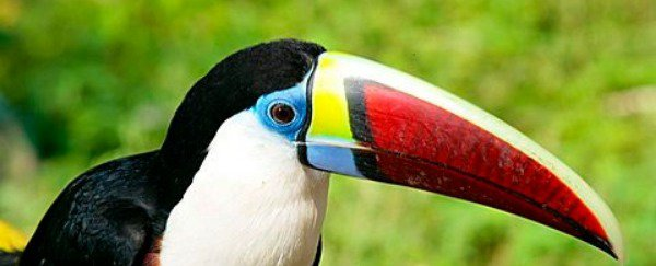 A Toucan in the wild