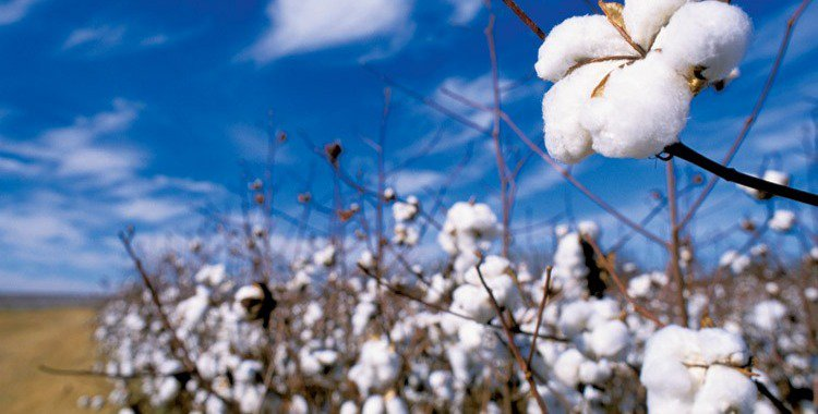 Cotton is heavily subsidized