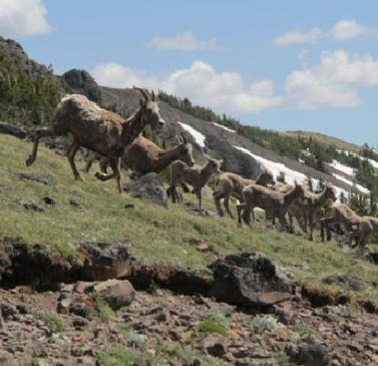 Big horn sheep descending the mountain.